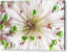 Allium Zoom Acrylic Print