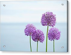 Alliums 1 Acrylic Print