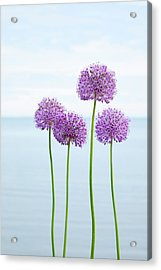 Alliums 2 Acrylic Print