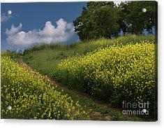 Almaden Meadows' Mustard Blossoms Acrylic Print