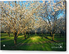 Almond Orchard Acrylic Print