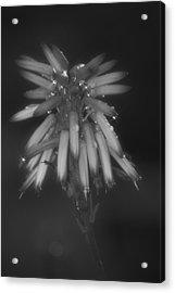 Aloe Bloosom Acrylic Print by Alexander Rozinov