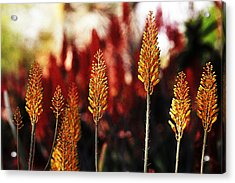 Aloe Blossoms Acrylic Print by Richard Henne