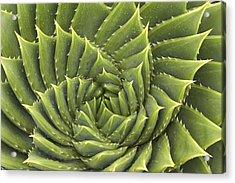 Aloe Polyphylla Acrylic Print by Geoff Bryant