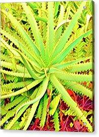 Aloha Aloe In Puna In Lime Acrylic Print
