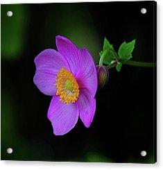 Anenome Purple Acrylic Print