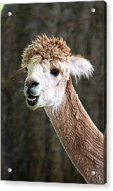 Alpaca  Acrylic Print