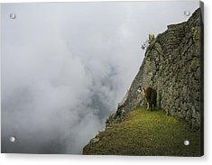 Alpaca On The Edge Acrylic Print