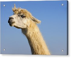 Acrylic Print featuring the photograph Alpaca by Skip Hunt