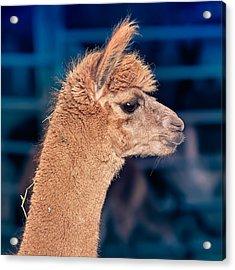 Alpaca Wants To Meet You Acrylic Print by TC Morgan