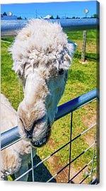 Alpaca Yeah Acrylic Print