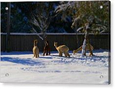 Alpacas In The Snow Acrylic Print