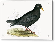 Alpine Chough Acrylic Print by English School