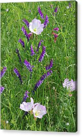 Alpine Vetch And Primroses Acrylic Print by Robyn Stacey