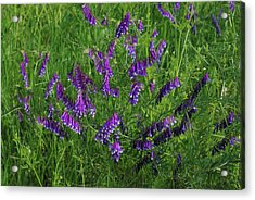 Acrylic Print featuring the photograph Alpine Vetch by Robyn Stacey
