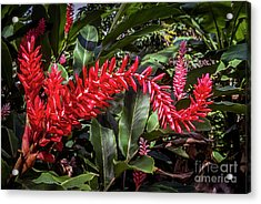 Alpinia Purpurata Red Ginger Acrylic Print