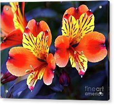 Acrylic Print featuring the photograph Alstroemeria Indian Summer by Baggieoldboy