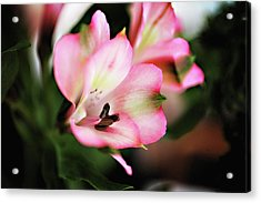 Acrylic Print featuring the photograph Alstromeria by Carol Kinkead