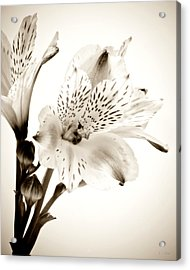 Alstromeria Lily Acrylic Print