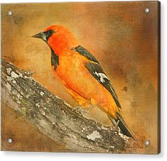 Acrylic Print featuring the photograph Altamira Oriole by Bellesouth Studio