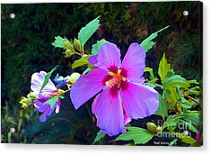 Althea Blossom Acrylic Print by Fred Jinkins