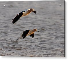 Am Avocet Acrylic Print