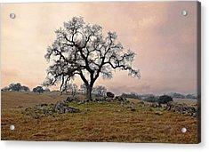 Amador Oak Acrylic Print by M Ryan