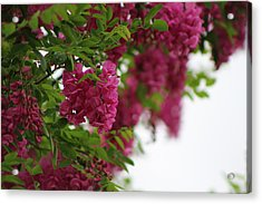 Amaranth Pink Flowering Locust Tree In Spring Rain Acrylic Print