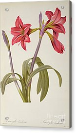 Amaryllis Brasiliensis Acrylic Print by Pierre Redoute