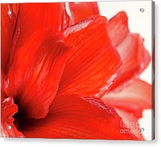 Amaryllis Fade Red Amaryllis Flower Subtly Fading Into A White Background Acrylic Print by Andy Smy