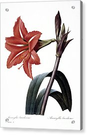 Amaryllis Acrylic Print by Granger
