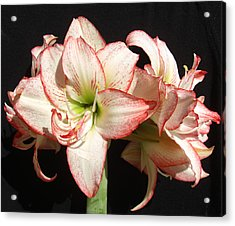 Acrylic Print featuring the photograph Amaryllis Group by Frederic Kohli