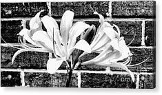 Amaryllis Inspiration Acrylic Print