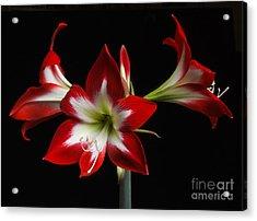 Amaryllis 'quito' Acrylic Print