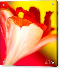 Amaryllis Shadow Abstract Flower With Shadow On Red And Yellow Acrylic Print by Andy Smy
