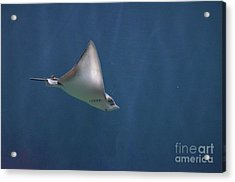 Amazing Stingray Underwater In The Deep Blue Sea  Acrylic Print