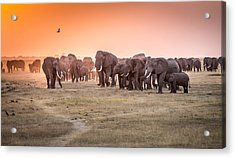 Amboseli Morning Stroll To Starbucks Acrylic Print by Jeffrey C. Sink