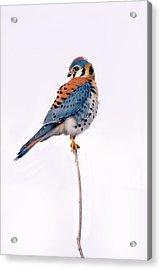 Amercian Kestrel Acrylic Print