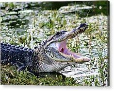 American Alligator Florida 3314_2 Acrylic Print