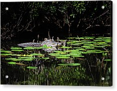 American Alligator In South Walton Florida Acrylic Print