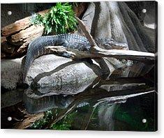 American Alligator Acrylic Print by Kathleen Stephens