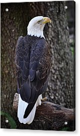 Acrylic Print featuring the photograph American Bald Eagle 01 by John Knapko