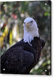 Acrylic Print featuring the photograph American Bald Eagle 03 by John Knapko