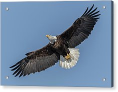 Acrylic Print featuring the photograph American Bald Eagle 2017-18 by Thomas Young