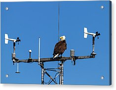 American Bald Eagle Perched On Communication Tower Acrylic Print by David Gn