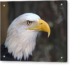 American Bald Eagle Acrylic Print by Peter Gray