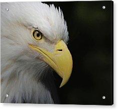 American Bald Eagle Portrait 4 Acrylic Print by Ernie Echols