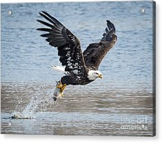 American Bald Eagle Taking Off Acrylic Print
