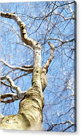 Acrylic Print featuring the photograph American Beech Tree by Christina Rollo