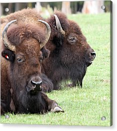 American Bison - Buffalo - 0011 Acrylic Print by S and S Photo